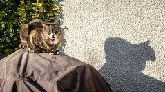 Cat on a Warm Barbecue (SKAC32) Tags: pussycat jamiroquai jammy earlymorning barbecuecover shadow sunlight
