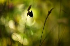 lifeless (bresciano.carla) Tags: pentaxart naturalmente pentaxk500 helios442 manuallens vintage butterfly silhouette cognevalledaostaitalia