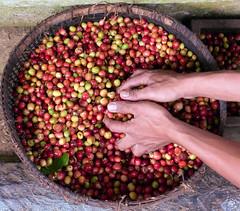 Coffee! (TablinumCarlson) Tags: indonesia indonesian bali asia asien kaffee coffee luwak hand leica dlux 6 kaffeekirschen kopiluwak kopi kape alamid katzenkaffee fleckenmusang civet civetcoffee asian palm paradoxurus hermaphroditus bangli arm