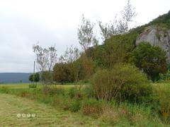 """Silber-Weide (Salix alba L.) und Grau-Weide (Salix cinerea L. s. l.) am Flu Ach beim """"Hohlen  Felsen"""" nahe Schelklingen -  Willow (Salix) on the river Oh the """"Hollow Rock"""" near Schelklingen (warata) Tags: 2016 deutschland germany sddeutschland southerngermanybadenwrttembergschwaben swabia schwbischealb schwabenalb mittelgebirge pflanze blume river fluss ach bach schelklingen hohlerfelsen weide salix willow landschaft landscape grauweide salixcinerealsl silberweide salixalbal"""