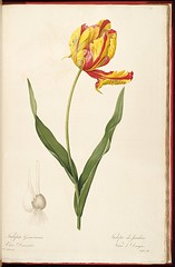Garden Tulip, Didier's tulip by P.J. Redoute  (1805-1816) (Swallowtail Garden Seeds) Tags: illustration drawing sketch plant flowers vintage botanical leaves foliage publicdomain swallowtailgardenseeds tulip flower blossom bloom yellow red liliacees redoute tulipa gesneriana volume8 plate478 478 didier garden 19thcentury tulipe jardins dragon bulb