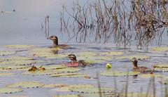 Masked Duck (Laura Erickson) Tags: birds anatidae moyobambaarea maskedduck peru species places anseriformes nomonyxdominicus