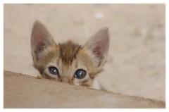 Intimid... intimidated ... (isabelle.bienfait) Tags: pets kot kedi kat kissa gatto gato katze cat chat agadir maroc regard animal eyes yeux flin