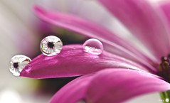 On the edge (Trayc99) Tags: water droplets drops reflection refraction beautyinnature beautyinmacro flower floralart flowerphotography closeup macro delicate
