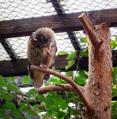 IMG_5291 (jaglazier) Tags: 2016 91416 animals bielefeld bielefeldzoo birds copyright2016jamesaglazier germany owls september teutoburg teutoburgforest teutoburgerwald zoos parks nordrheinwestfalen