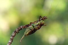 Chicharra alicorta II (candi...) Tags: chicharraalicorta grillo insecto invertebrado macro macrofotografia naturaleza