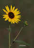 Plains Sunflower (f4fwildcat...Tom Andrews Photography) Tags: flowers wildflowers domestic tallthistle wooleyverbena fall plainssunflower indianmustard hybiscus snowonthemountain kansasprairie kansaswildflowers f4fwildcat tomandrewsphotography
