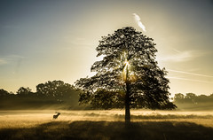 The stag and the tree (stephen.darlington) Tags: bushypark surrey rays sun light sky sunrise sunlight sunrays stag deer animal wildlife nature antlers red autumn reddeer bellowing planet