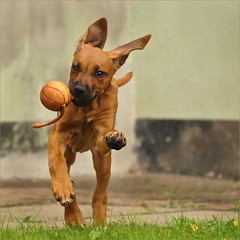 ears too long, feet too big = puppy (me*voil - away in October) Tags: kiki dog puppy action ridgeback young toy
