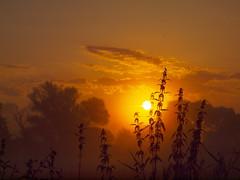 brennesseln im Sonnenlicht P8280295 (hans 1960) Tags: sun sunrise sonne sonnenaufgang sol soleil sonnenlicht licht light atardecer brennnessel farben colours nature unkraut natur outdoor golden landschaft landscape germany trees bume august 2016 himmel sky silhouette