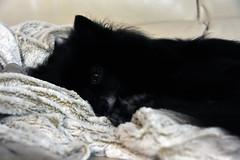 Sleepy Bella (Melissa_JMH) Tags: dog cute sleep sleepy nikon nikond700 d700 blanket couch tired oregon cream fur hair nose eye friend companion bark barking beautiful best whiskers whisker comfy whispy