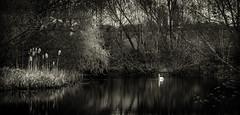 Swan at Lake BW (rodriguesfhs) Tags: bw lake swan kenilworth pond warwickshire woods forest trees nature animal bird