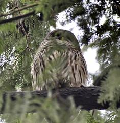 Barred Owl (glenbodie) Tags: glen bodie glenbodie dncb 201512 qepark barred owl