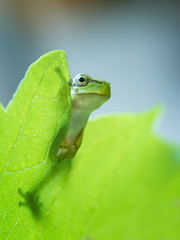 Boomkikker (Koos63) Tags: reptiles amphibians