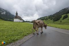 Cow (HendrikMorkel) Tags: austria bregenzerwald family sonyrx100iv vorarlberg sterreich mountains alps alpen berge