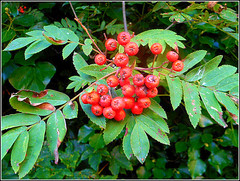 Rowan Berries .. (** Janets Photos **) Tags: ukplants shrubs trees rowan berries