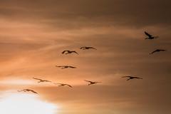 Kranich (Grus grus) (Matthias.Kahrs) Tags: kranich grus vgel vogel bird birds tier crane cranes kraniche sonnenaufgang wolken kranichzug canon 5d canoneos5dmarkiii canon5dmarkiii tamron 150600mm tamronsp150600mmf563divcusd tamron150600mm matthias kahrs