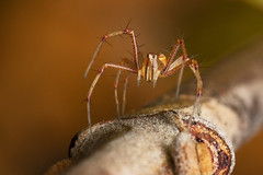 Brown Lynx Spider (Mika Andrianoelison) Tags: k3 madagascar macro bugs nature wildlife fauna animal predators hunters carnivorous closeup justpentax taxonomy:family=oxyopidae spider lynx brown