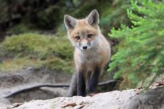 Curious Kit (Megan Lorenz) Tags: redfox fox foxkit babyanimals animal mammal nature wildlife wild wildanimals algonquinprovincialpark ontario canada mlorenz meganlorenz