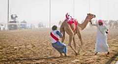 Robo-Racing (FarFlungTravels) Tags: november animals race drive robot dubai uae run camel remotecontrol sheikh unitedarabemirates camelracing 2011 dramadery
