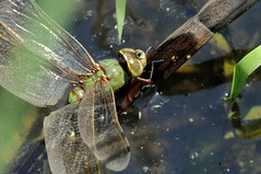 2012 Common Green Darner (Anax junius) (DrLensCap) Tags: park chicago macro green robert nature bug insect fly illinois village dragon dragonfly north center il common kramer darner anax junius