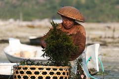 (Alain Bachellier) Tags: bali seaweed farmer ferme lembongan nusalembongan collectingseaweed seafarmer algoculture fermealgue