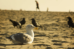Ocean Beach Seagull (RolandR.) Tags: ocean sanfrancisco seagulls beach san francisco minolta sony beercan beaches oceanbeach 70210mm a55 minolta70210f4 minolta70210mmf4