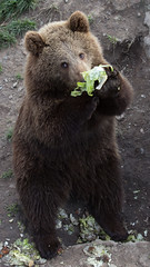 Even bears must eat their green salad (CecilieSonstebyPhotography) Tags: bear brown canon salad eating paws bjørn bamse brownbear bearpark carate ef70200mmf4lisusm bjørneparken canoneos60d