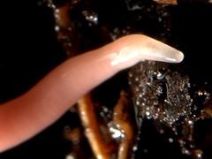 Native land flatworm, Microplana scharffi, garden, Swavesey, Cambridgeshire    DSC_7255-001 (Cladoniophile) Tags: flatworm planarian platyhelminthes platyhelminth rhynchodemidae terricolae