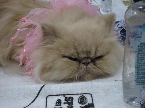 Persian/Himalayan Cat tired
