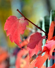 On The Fence (Theresa*) Tags: autumn house window leaves fence illinois dof geneva oneofakind theresa fallintoautumn genevaillinois beautifulcapture loverofnature prettyfreakinsweet fallandwinteraroundtheworld onlythebestarememoriesthroughphotography screamofthephootgrapher