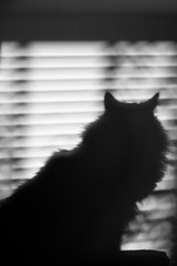 Creature of the Night (Bjrnert) Tags: shadow silhouette cat fluffy blinds victoriabc catshadow fluffycat catsilhouette