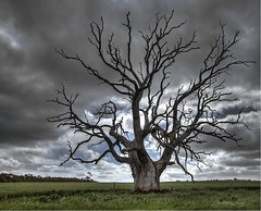 Old Tree, South Australia (Jacqui Barker) Tags: old tree oldtrees oldandbeautiful