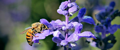 Bee Beauty in Purple (Yousef Aisheh) Tags: flower green beauty spring purple amman bee jordan