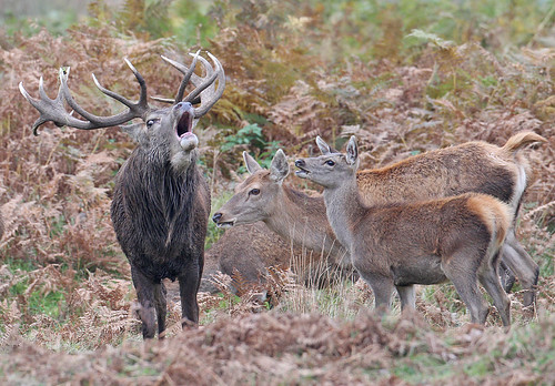 Red deer stag & hinds - Cervus elaphus