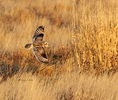 Golden (Peggy Collins) Tags: field gold golden raptor owl boundarybay wingspan bif birdinflight shortearedowl owlinflight peggycollins