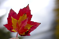 Juxtaposition (will_i_be) Tags: red fall yellow maple images getty leafs
