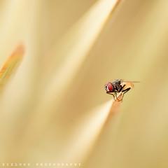 Red Eyes! @@ (ZiZLoSs) Tags: macro canon fly is kuwait photogaphy ef100mmf28macrousm zizloss abdulazizalmanie canoneos600d