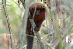 Tocón (ggallice) Tags: amigos peru rain forest de monkey mono los amazon rainforest selva primate madre titi dios primates tocón cebidae callicebus brunneus cicra