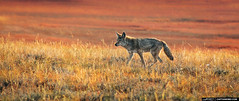 Coyote-on-the-Prowl-at-Yellowstone-National-Park-Wyoming (Captain Kimo) Tags: coyote yellowstonenationalpark wyoming photomatixpro singleexposurehdr captainkimo tonecompessor