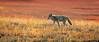 Coyote-on-the-Prowl-at-Yellowstone-National-Park-Wyoming (Captain Kimo) Tags: coyote yellowstonenationalpark wyoming photomatixpro singleexposurehdr captainkimo tonecompessor