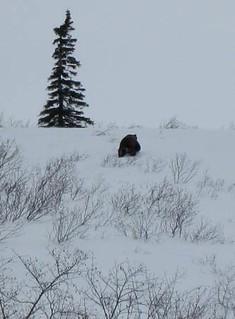 Alaska Moose and Bear Hunt - Dillingham 17
