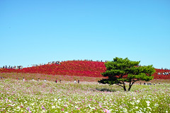 Kochia hill #2 (nipomen2) Tags: park japan seaside sigma  hitachi ibaraki merrill dp2 hitachinaka  kochia