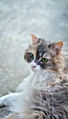 My Thomasina (KaraleeScouten) Tags: pink blue white green love beautiful face cat hair fur nose amazing eyes warm soft long fuzzy kitty ears queen whiskers calico fabulous sick duchess thomasina highqualityanimals
