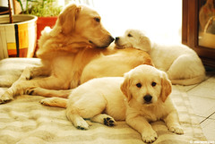 Golden Love (.:: Maya ::.) Tags: dog love golden puppies mother retriever mayaeye mayakarkalicheva маякъркаличева