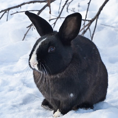 The definition of cuteness (annkelliott) Tags: winter wild snow canada black cute rabbit nature animal lumix seasons wildlife adorable drumheller alberta wildanimal pointandshoot badlands residential nonnative introduced beautyinnature lagomorpha leporidae europeanrabbit oryctolaguscuniculus beautifulexpression annkelliott eastofcalgary anneelliott socialanimal fz200 dmcfz200 panasonicdmcfz200 p1090370fz200