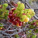 ʻŌhelo ʻai i - Hawaiian bilberry
