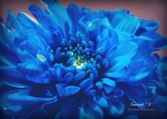Blue Hue (tasmi.loves.life ) Tags: flowers blue light flower macro floral lightsandshadows flora shades mum blueflower flowermacro sonydsc flowerss w310 lightpainters tasmiahsflowers tasmiahsphotostream