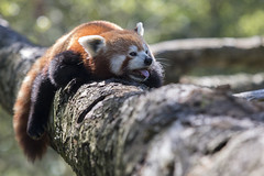 Red Panda (Trine K Photography) Tags: blue red summer portrait white detail macro green art nature animal animals norway closeup contrast cat canon sweden hiking wildlife lanscape wildlifephotographer naturecloseup canonef70200mmf28lusm wildlifephotography animalcloseup canon70d trinek trinekphotography