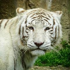White tiger (ncotte) Tags: animal fauve zoo tiger tigre whitetiger